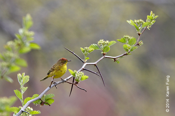 27 April: Palm Warbler in Central Park