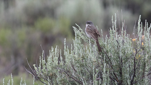 20 June: Sagebrush Sparrow
