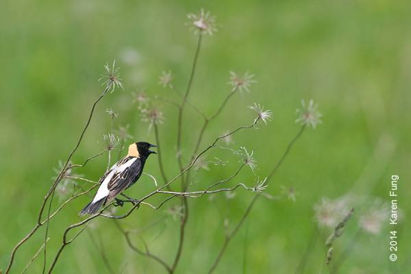 26 May: Bobolink at Shawangunk Grasslands NWR