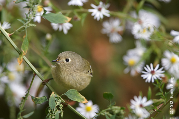 19 Oct: Ruby-crowned Kinglet in Central Park