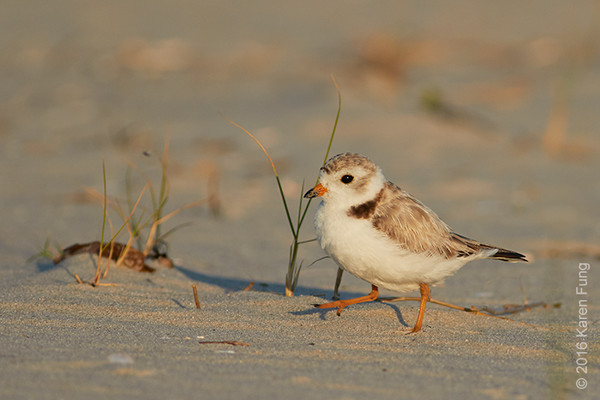 3 July: Piping Plover