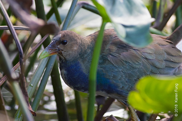 20 Oct: Purple Gallinule, Prospect Park