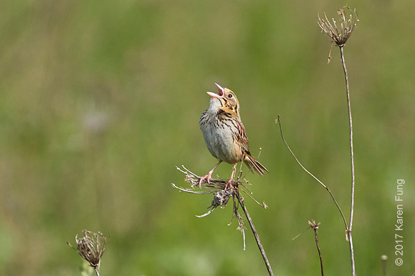 27 May:  Henslow's Sparrow