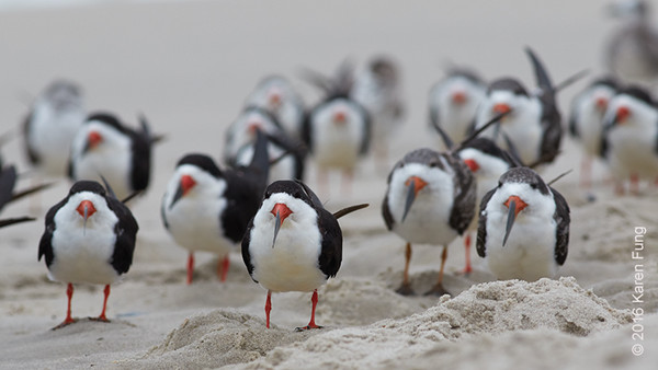 5 Oct: Black Skimmers in Cape May, NJ