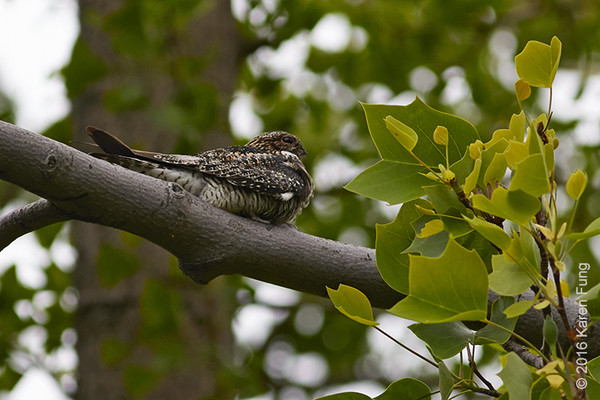 15 May: Common Nighthawk in Central Park
