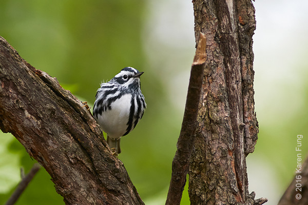 4 May: Black-and-white Warbler in Central  Park