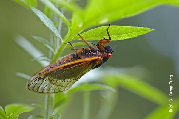 16 June: Periodical 17-year cicada on Staten Island