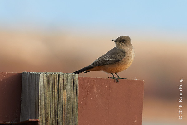 9 January: Say's Phoebe at Bosque del Apache NWR