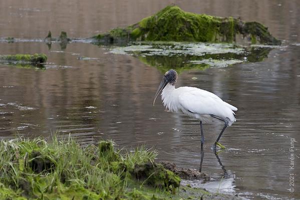 10 May: Wood Stork in Westhampton