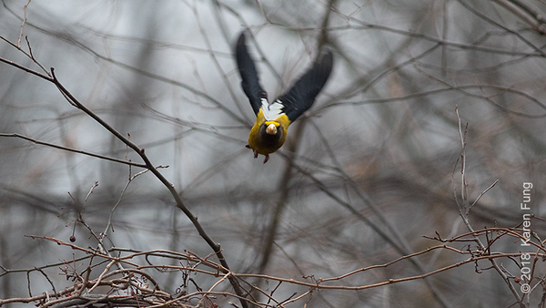 31 Dec: Evening Grosbeak in Riverside Park