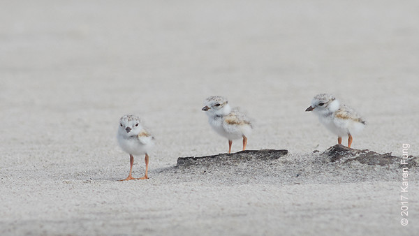 18 June: Piping Plover Chicks