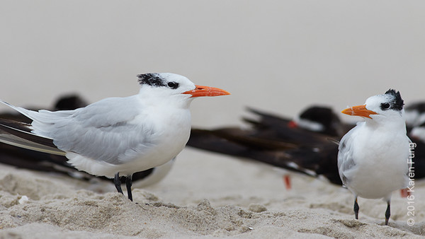 5 Oct: Royal Terns in Cape May, NY