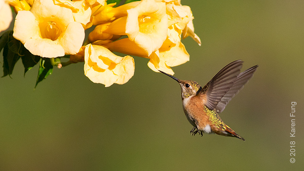 19 July: Rufous Hummingbird, Leavenworth