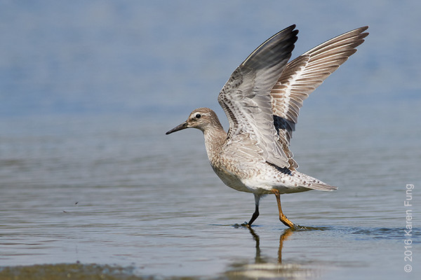 21 August: Juvenile Red Knot at Jamaica Bay WR