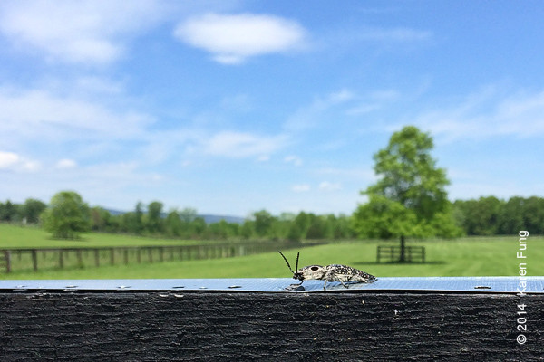 26 May: Eastern-Eyed Click Beetle in Ulster County (iPhone pic)
