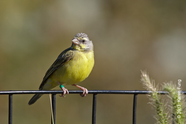 20 Oct: Yellow-fronted Canary in Central Park (Great Hill).  Leg band.