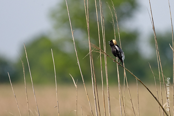 25 May: Bobolink singing at Shawangunk Grasslands NWR