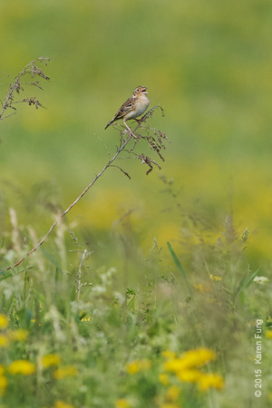 30 May: Grasshopper Sparrow singing at Shawangunk Grasslands NWR
