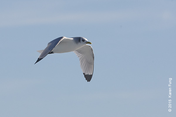 11 Jan: Black-legged Kittiwake on the Freeport pelagic