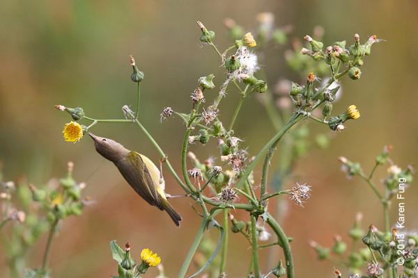 19 Oct: Nashville Warbler in Central Park