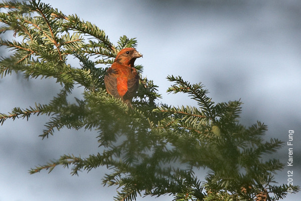 1 September: Red Crossbill in Central Park