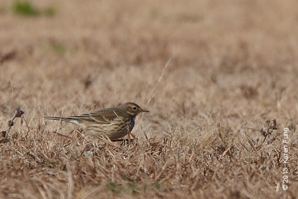 3 Nov: American Pipit in Van Cortlandt Park. Initially Ken Chaya and I counted 14 in the flock when we arrived on the Parade Ground; that number increased to 45 when we returned in the afternoon.  The image is heavily cropped.