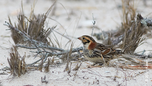 17 February: Lapland Longspur at Jones Beach