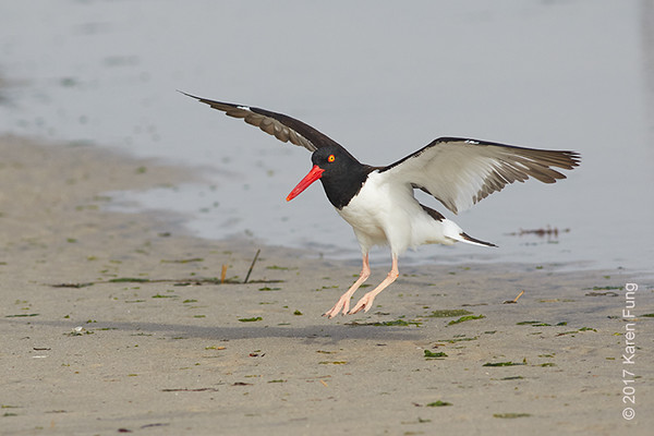 18 June: American Oystercatcher