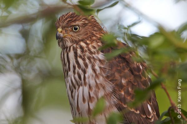 12 Sept: Cooper's Hawk in New Mexico