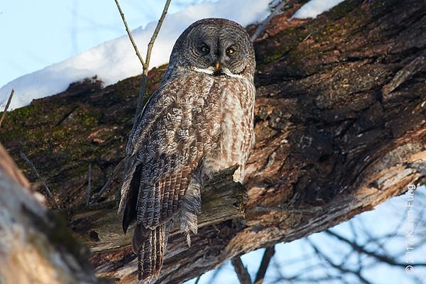 18 Feb: Great Gray Owl