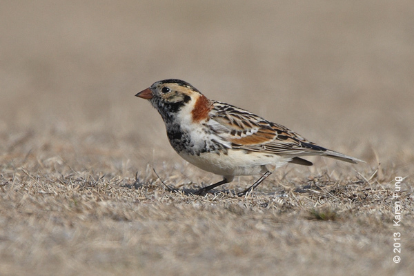 31 March: Lapland Longspur at Jones Beach CGS
