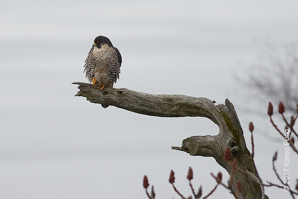 28 Jan: Peregrine Falcon