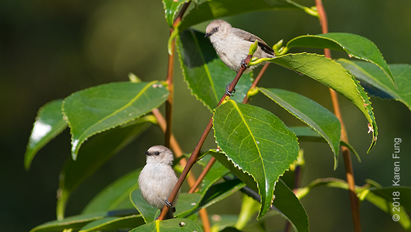 16 July: A pair of Bushtits in Seattle