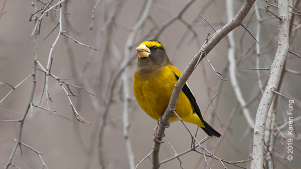 22 Feb: Evening Grosbeak in Riverside Park