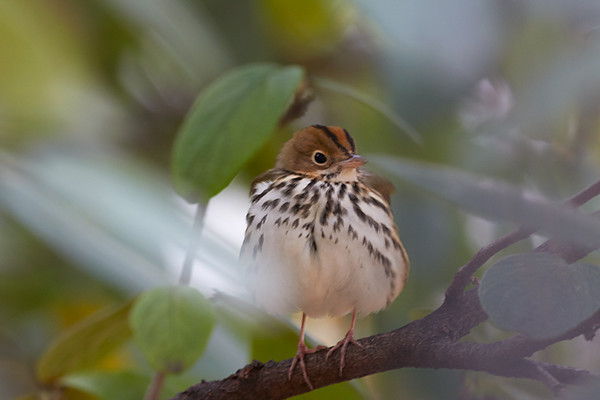 6 Dec: Ovenbird at City Hall Park