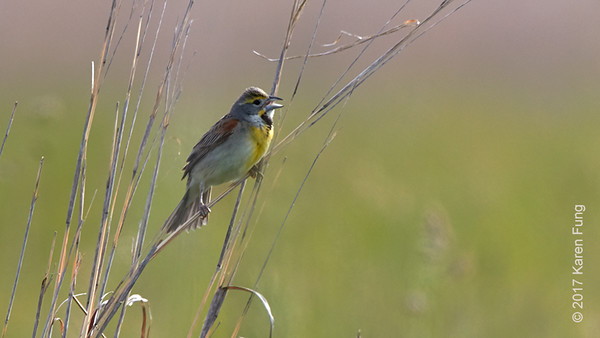 4 June: Dickcissel