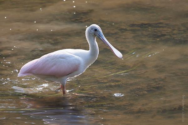 27 July: Roseate Spoonbill in Wappingers Falls