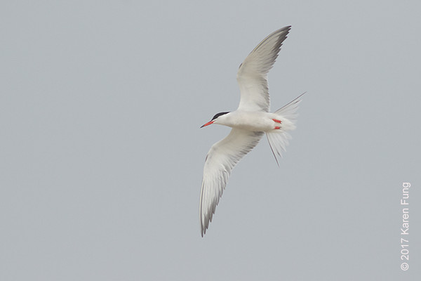 18 June: Common Tern