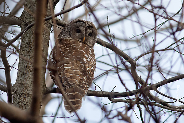 22 Dec: Barred Owl in Central Park (North End)