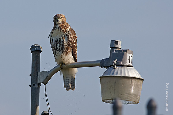 28 July: Immature Red-tailed Hawk at Croton Point Park