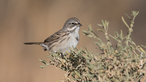 24 November: Sagebrush Sparrow