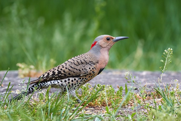 21 May: Northern Flicker in Central Park