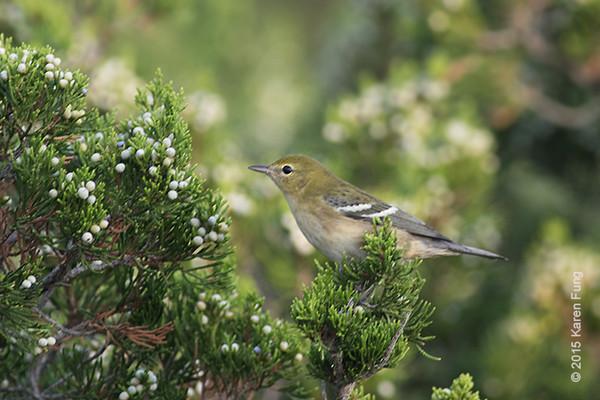 19 Sept: Bay-breasted Warbler at Jones Beach CGS