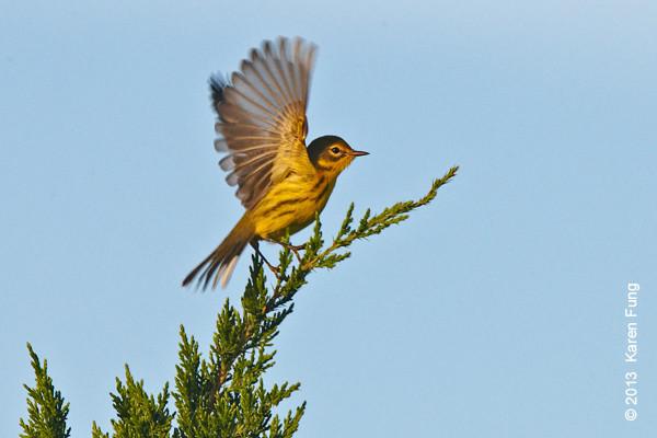 5 Sept: Prairie Warbler at Jones Beach at dawn
