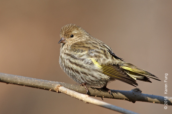 6 January: Pine Siskin in Central Park.  After bathing in the Loch, it flew up to a low branch to dry off.