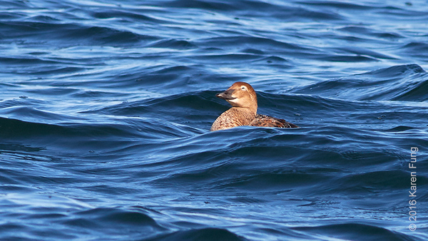 13 Nov: Female King Eider in Bayville, NY