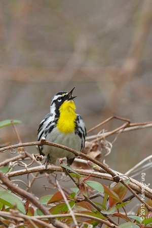 20 April: Yellow-throated Warbler singing at Hempstead Lake SP