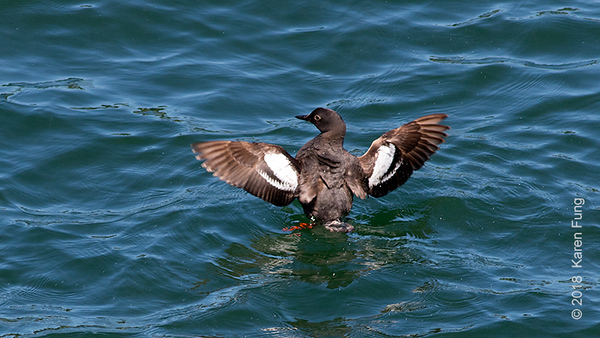 16 July: Pigeon Guillemot, Bainbridge Island