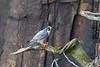 28 Jan: Peregrine Falcon with Prey