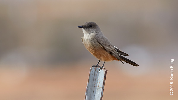 10 January: Say's Phoebe in San Antonio